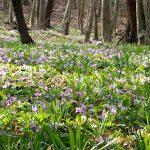 カタクリの花咲く三毳山